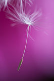 Dandelion macro fruit Royalty Free Stock Photo