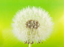 Dandelion (macro) Royalty Free Stock Image