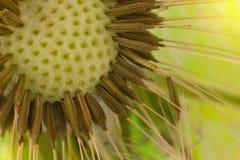 Dandelion (macro) Stock Photos