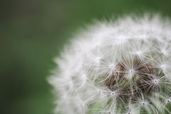 Dandelion macro Royalty Free Stock Photography