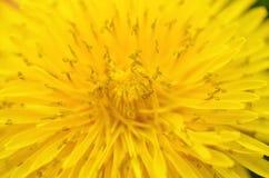 Dandelion. A macro image of a dandelion plant Stock Images