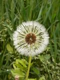 Dandelion macro and its various forms during growth. Stock Photos