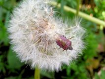 Dandelion macro and its various forms during growth. Stock Image