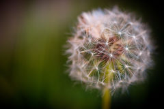 Dandelion macro, make a wish. Dandelion macro, innocence or peace concept Royalty Free Stock Image