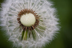 Dandelion in Macro Perspective Stock Photography