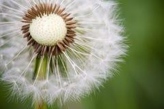 Dandelion in Macro Perspective stock images