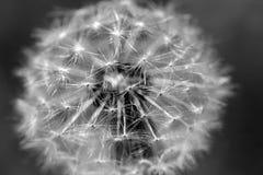Dandelion macro photo Stock Image