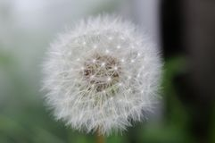 Dandelion. Macro photo of a dandelion that has gone to seed Stock Photos