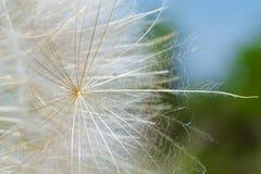 Dandelion macro. Macro photo of a dandelion seed Stock Photos