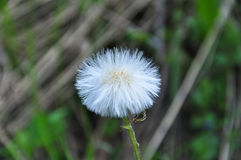 Dandelion. Macro photo of a dandelion in the summer season Royalty Free Stock Images