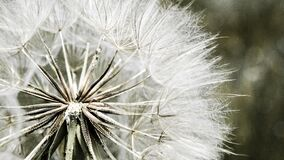 Dandelion Macro Photography Royalty Free Stock Photo