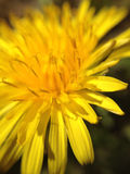 Dandelion. Macro picture of a dandelion in bloom Stock Images