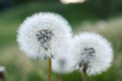 Dandelion macro Stock Photography