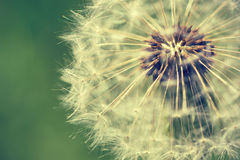 Dandelion macro retro photo Stock Images