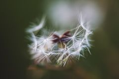 Dandelion macro seed pods. Isolated Macro of a dandelion like plant on a green background stock photo