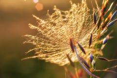 Dandelion. Macro of dandelion seed at sunset Royalty Free Stock Image