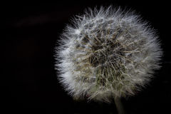 Dandelion. A macro shot of a dandelion royalty free stock images