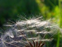 Dandelion. Macro shot. Green background Stock Images