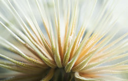 Dandelion macro shot of seed abstract look.  Royalty Free Stock Images