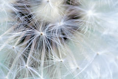 Dandelion, macro shot of the seeds Stock Image