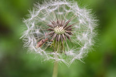 Dandelion macro and a small insect Stock Photography
