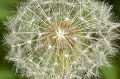 Dandelion macro in the spring.  Stock Image