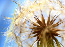 Dandelion Macro Royalty Free Stock Photos