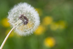 Dandelion Macro View of Bloom Royalty Free Stock Photography