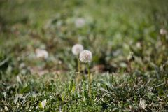 Dandelion macro. Dandelion weeds growing in the field royalty free stock photography