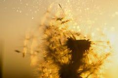 dandelion macro ziarno Zdjęcie Royalty Free