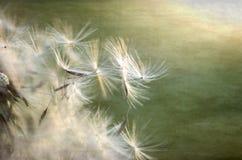 dandelion macro ziarno Obraz Royalty Free