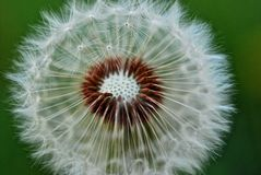 Dandelion magia Zdjęcia Royalty Free