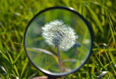 Dandelion through a magnifying glass Royalty Free Stock Photo