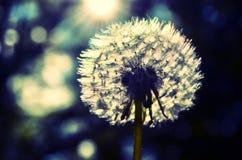 Dandelion - make a wish. Make a wish on a dandelion stock photo