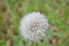 Dandelion - Make a Wish. The white dandelion flower caught against a bed of green. Traditionally picked and blown while making a wish Stock Photos
