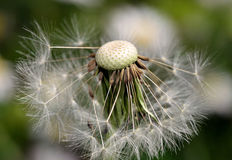 Dandelion - Makro- fotografia Obrazy Royalty Free