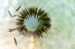 Dandelion makro- fotografia Zdjęcia Stock