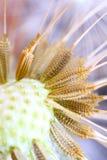 Dandelion, Makro-, ziarna Obraz Stock