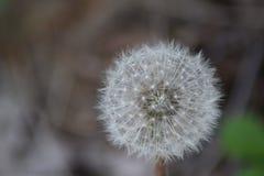 Dandelion - MaslaÄ  ak Zdjęcia Royalty Free