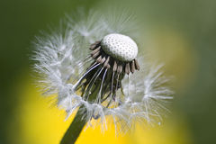 Dandelion. Mature Dandelion with blowballs half dispersed by the wind Stock Image