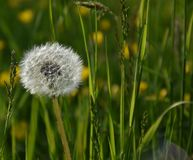 Dandelion after maturity stock photo