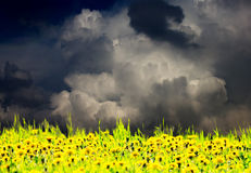 Dandelion meadow. Very dramatic sky over dandelion meadow Royalty Free Stock Photos