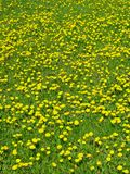 Dandelion meadow Stock Images