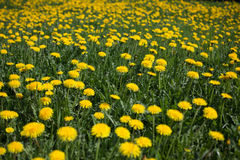 Dandelion meadow Stock Photo