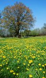 Dandelion meadow. A dandelion meadow in spring with a lonely tree royalty free stock photos