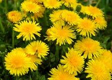 Dandelion meadow Stock Photo