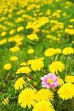 Dandelion meadow Royalty Free Stock Photo