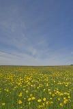 Dandelion meadow Stock Image