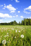 Dandelion meadow Royalty Free Stock Image