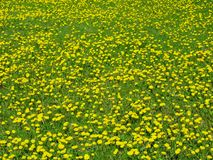 Dandelion meadow Royalty Free Stock Images